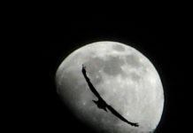 A bird attempting to travel to the moon.
